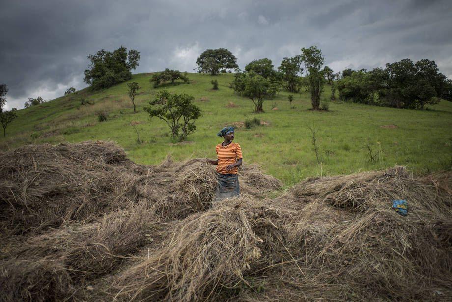 A farmer in Tanzania uses hay to help mulch and prevent soil erosion. Photo: FAO/Marco Longari