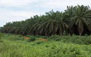 Photo: Industrial-scale oil palm plantation, Cameroon.