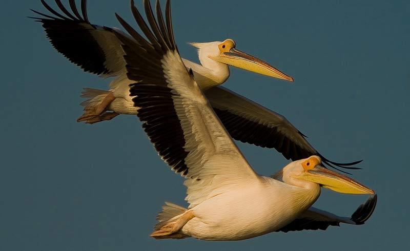 White Pelican. Photo: UNEP/AEWA/Sergey Dereliev