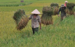 Harvesting rice in Viet Nam. Global rice consumption trends are rising. Photo: FAO/Hoang Dinh Nam