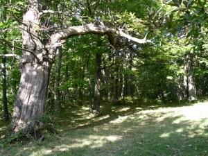Kastanienwald in den Marken