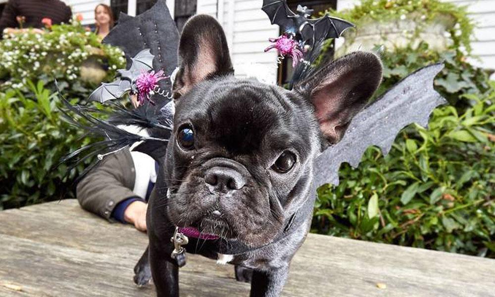 Perro disfrazado Halloween