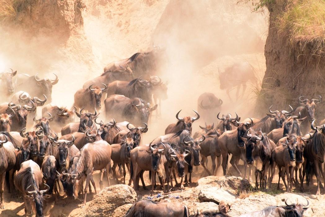 Safari por Masai Mara cruce ñus