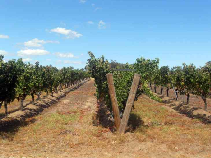 margaret-river-vinyard