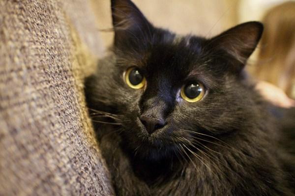 kitty black cat