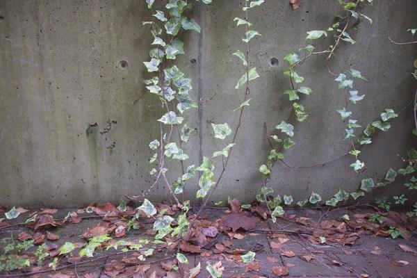 02 ivy