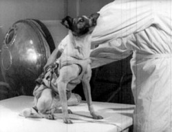 Laika before launch in 1957 (NASA)