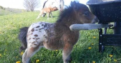 cavallo nano