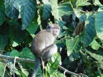 Macaco en Borneo