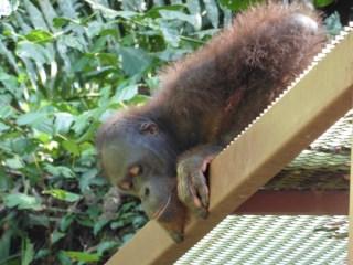 Orangután en Sepilok