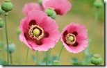 Poppies - unpocogeek.com