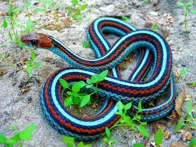 Red Sided Snake