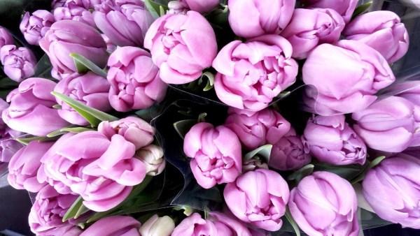 tulipes rose ss
