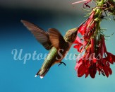 Hummingbird8(Web)
