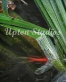 Pondfish1(Web)
