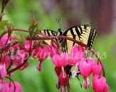 Swallowtail1(Web)