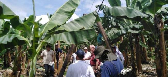 Urabá extrema medidas preventivas contra el 'Mal de Panamá'