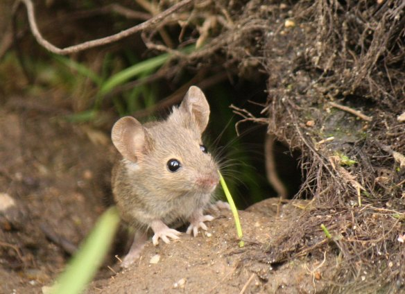 Wood Mouse - Photo by Jans Canon