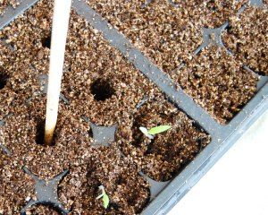 Chopsticks are just the right size for making a seedling hole.