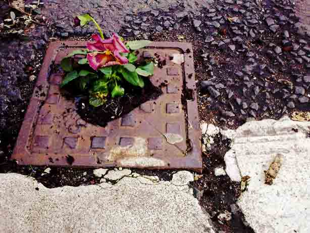 Guerrilla Gardening on manhole for Pansy Project