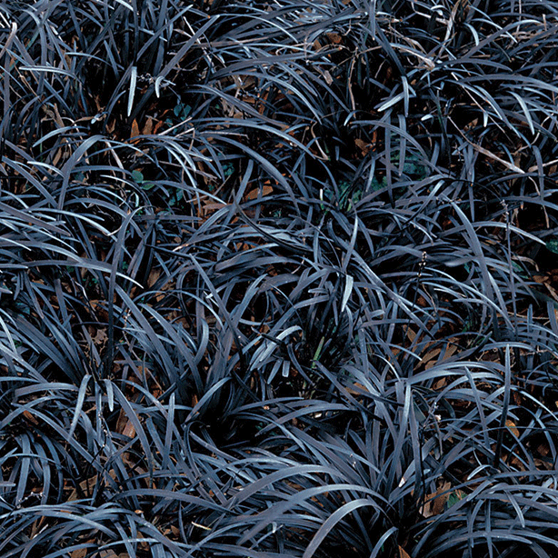 Black Mondo Grass-Ophiopogon Planiscapus 'Nigrescens'