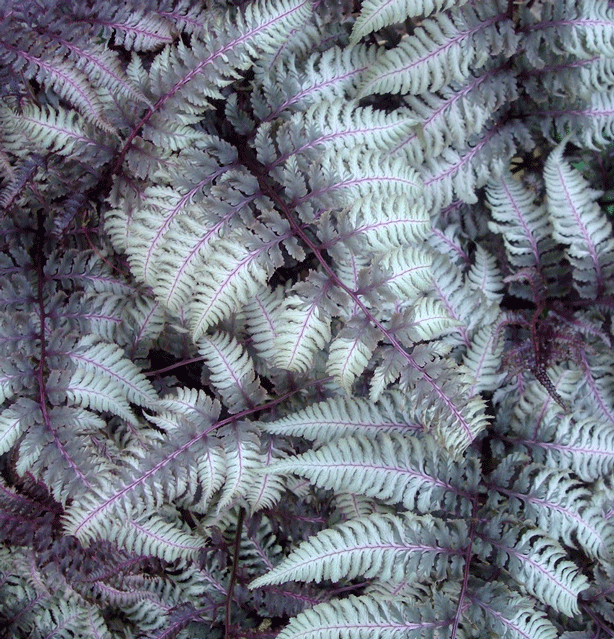 silvery-ghost-ferns