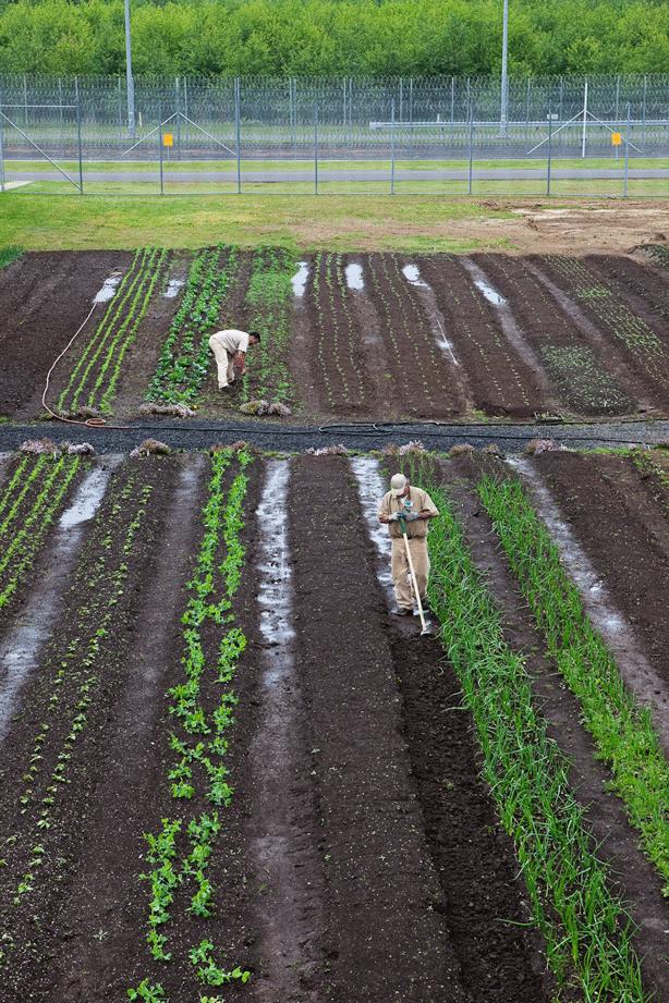 inmates-gardening-in-planted-prison-garden-rows