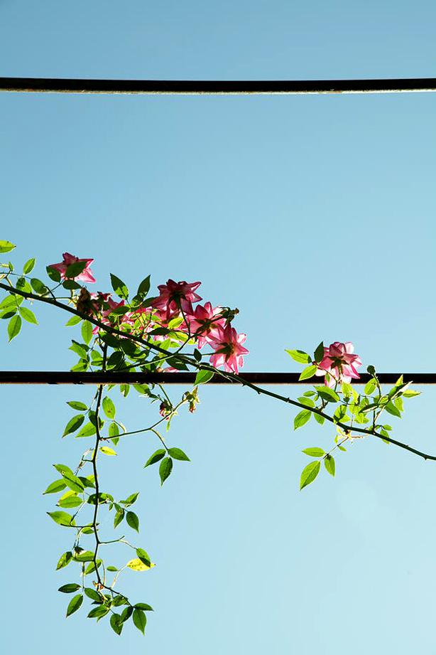 francis-beninca-plants-climbing-arbor-urbangardensweb