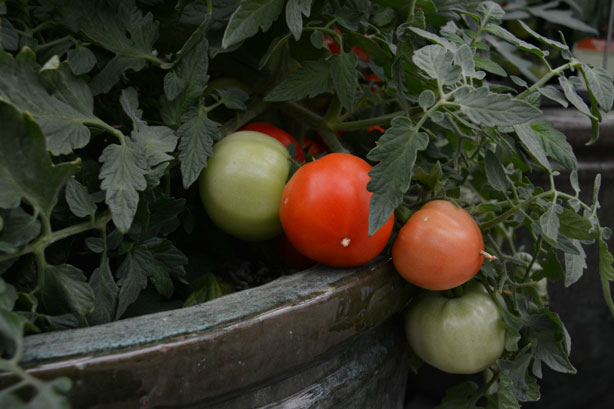 Cherry_Tomatos
