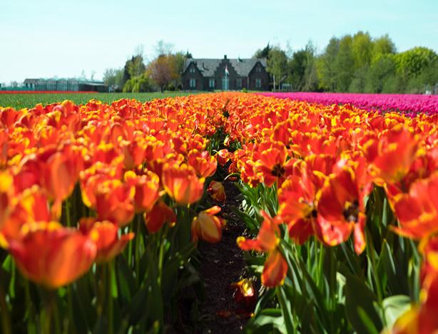 tulips-greenhouse_614
