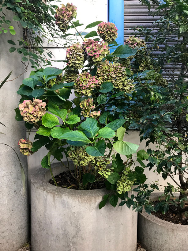 hydrangeas_London_secret_garden_urbangardensweb