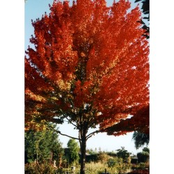 Small Crop Of October Glory Maple