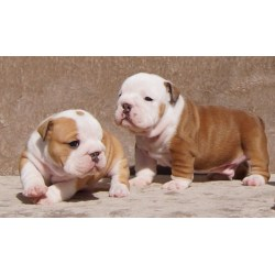 Small Crop Of English Bulldog Price