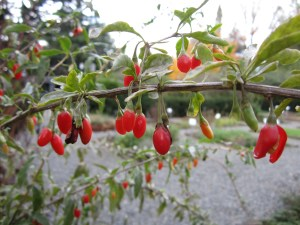 Lycium chinense (gou qi zi, goji berry) section C. Good for what ails you, the fresh goji berries taste like a cross between a sweet pepper and a tomato.