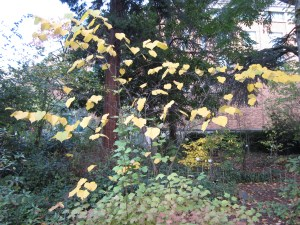 Cercis canadensis (eastern redbud) woods north of Cascara Circle. It's a bit ghostly at this time of year.