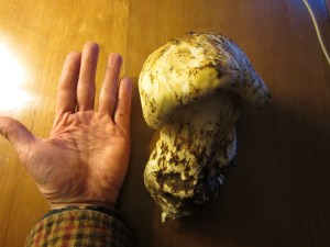 Tricholoma magnivelare (Americn matsutake) This is the taste of autumn in the Pacific Northwest. It is also the largest matsutake button I've ever collected.