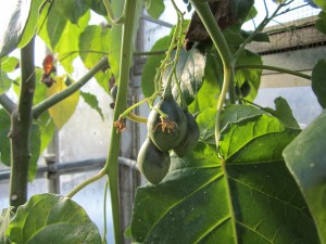 Immature tamarillos that better ripen if they know what's good for them. I want to try a tamarillo.