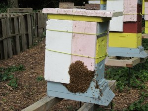 Swarm taking over a newly empty hive. Ina perfect world, our swarm would wind up in the hive these bees left behind.