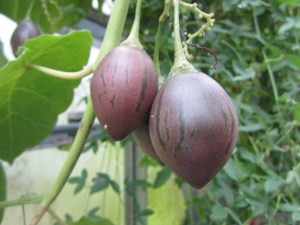 View of tamarillos (Solanum betacea) from the east.