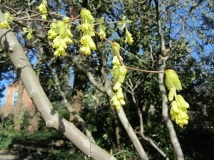The winter hazel (Corylopsis spicata) between sections E and F, also flowers before its leaves emerge. Winter hazel is a good looking plant the whole year if you keep it thinned out.