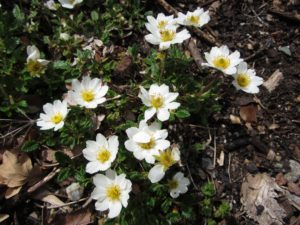 Dryas octopetala (mountain avens) is a circumpolar species from the tundras of the world. It creeps inconspicuously along until it flowers.