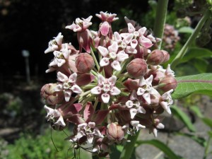 Showy milkweed (Asclepias speciosa) in section B.
