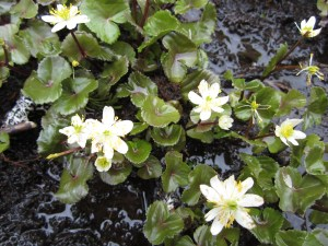 White marsh marigolds (Caltha leptosepala) that I photographed recently near Bald Mountain in the Cascades. There were some in the Cascara Circle stream but they mysteriously disappeared last year. They look better in the mountains.