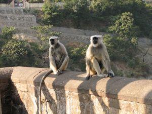 1024px-india_-_wildlife_-_009_-_grey_langur_monkies_hanging_out_on_lakshman_jhula_in_rishikesh_2091450846