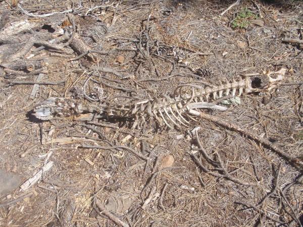 Deer skeleton in Tonto Forest