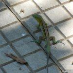 Gecko San Gil
