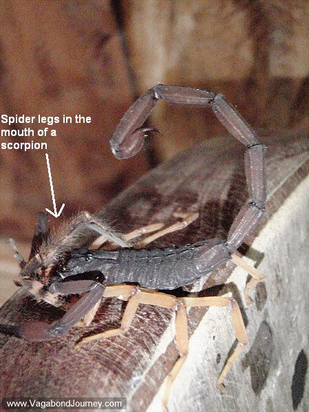 Scorpion eating a spider