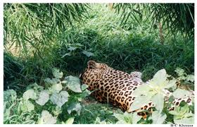 Leopared in Palampur