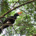 Hornbill at KL Bird Park