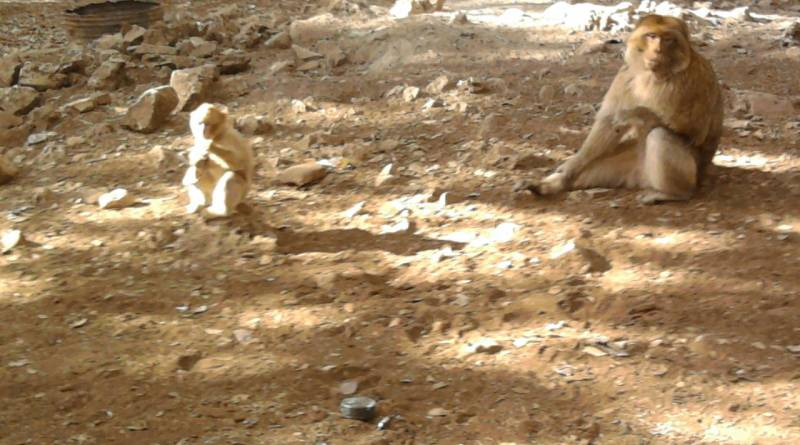 Barbary Apes in Morocco